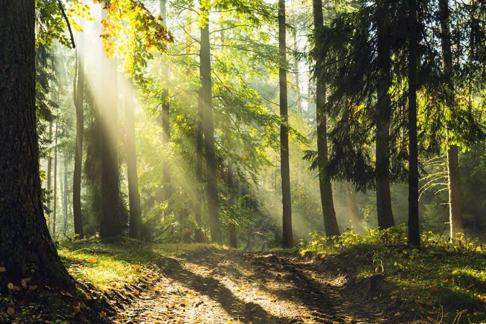 sun beams in trees